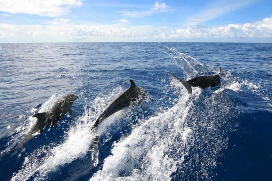 dolphins Antigua